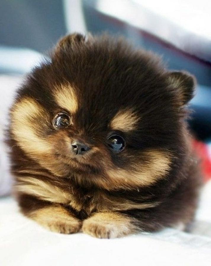 138978338471347177vxIYyDw9c Do You Like to Get a Pomsky Puppy?