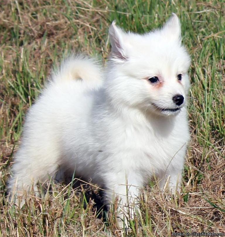 pomsky rescue puppies dog breeds picture