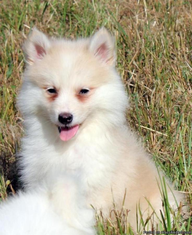 "54331255_yE8RDA What Do You Know about the Latest Hybrid Dog ""Pomsky""?"