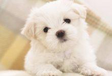 Photo of Do You Like to Get a Pomsky Puppy?