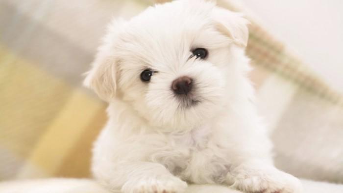 Funny-Pomsky-2013-HD-Wallpaper-1024x576 Do You Like to Get a Pomsky Puppy?
