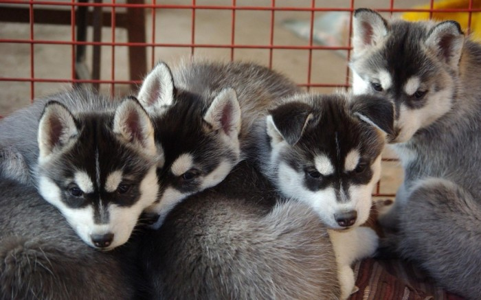 Pomsky-Puppies-1280x800 Do You Like to Get a Pomsky Puppy?
