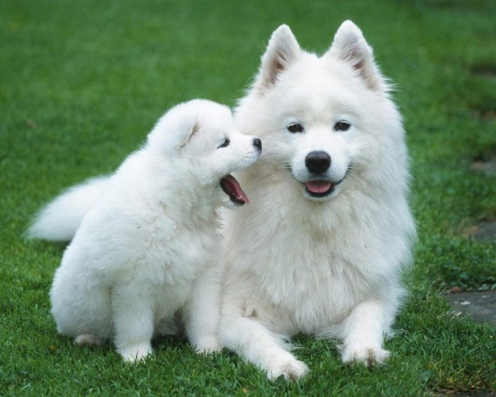 "Pomsky-Wallpaper-HD-Wallpaper What Do You Know about the Latest Hybrid Dog ""Pomsky""?"