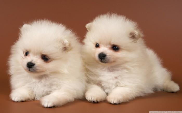 Pomsky-Wallpaper-Photos Do You Like to Get a Pomsky Puppy?