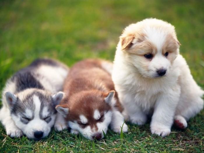 Pomsky Do You Like to Get a Pomsky Puppy?