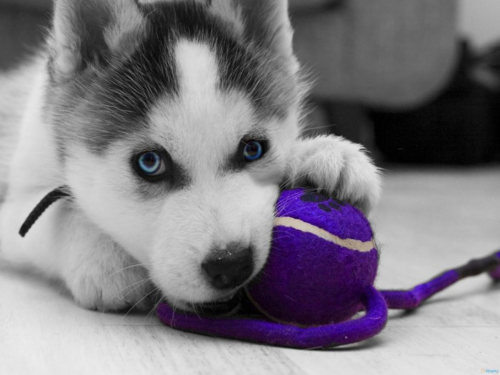 Pomsky With Blue Eyes Siberian pomsky hd wallpaper