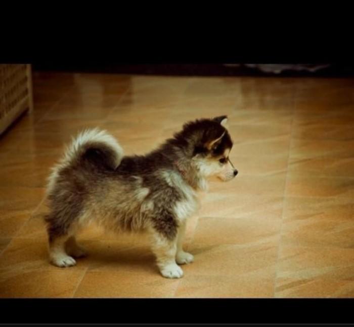"m_363036_o0vVB3t4nX15 What Do You Know about the Latest Hybrid Dog ""Pomsky""?"
