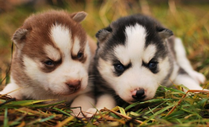 """pomeranian-husky-blue-eyes What Do You Know about the Latest Hybrid Dog """"Pomsky""""?"""