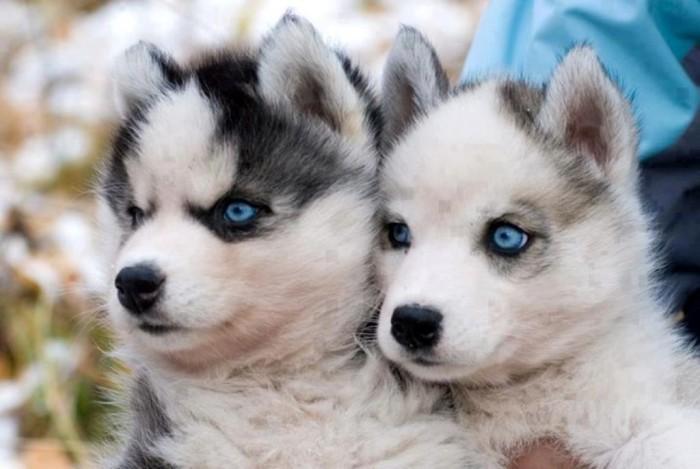 """pomskies What Do You Know about the Latest Hybrid Dog """"Pomsky""""?"""