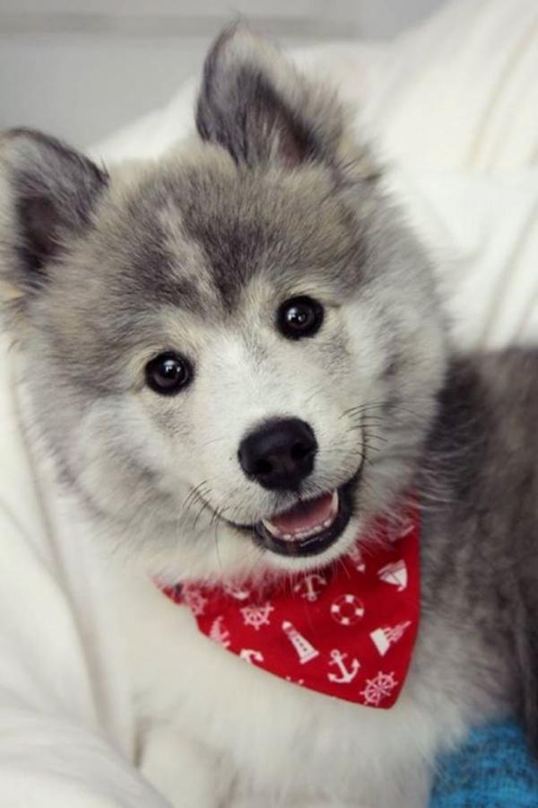 """pomsky-cost What Do You Know about the Latest Hybrid Dog """"Pomsky""""?"""
