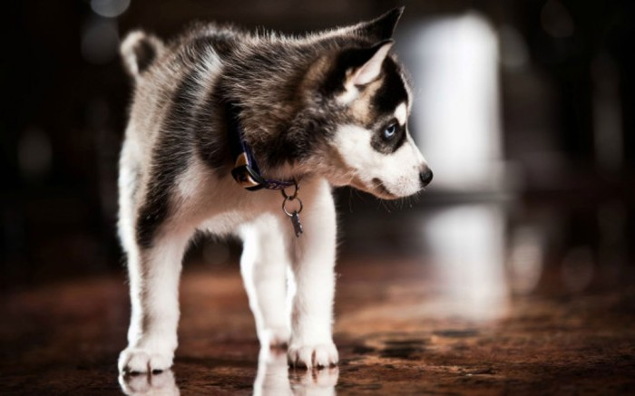 pomsky-full-grown-Pomsky-Full-Grown-Pictures Do You Like to Get a Pomsky Puppy?