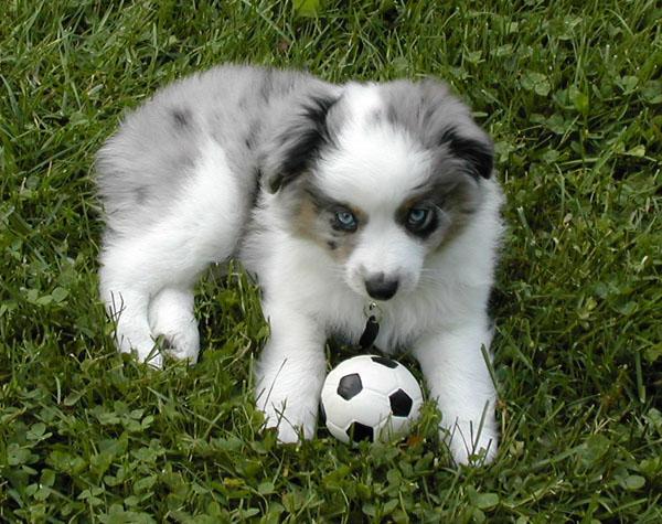 Pomsky Puppies Full-Grown