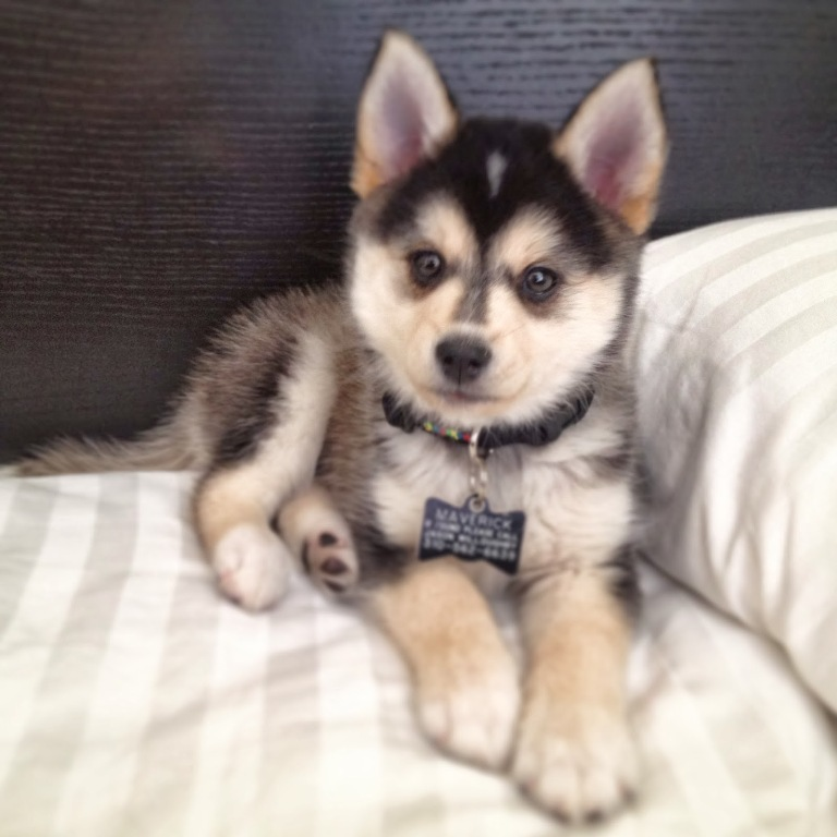 """pomsky-puppies What Do You Know about the Latest Hybrid Dog """"Pomsky""""?"""