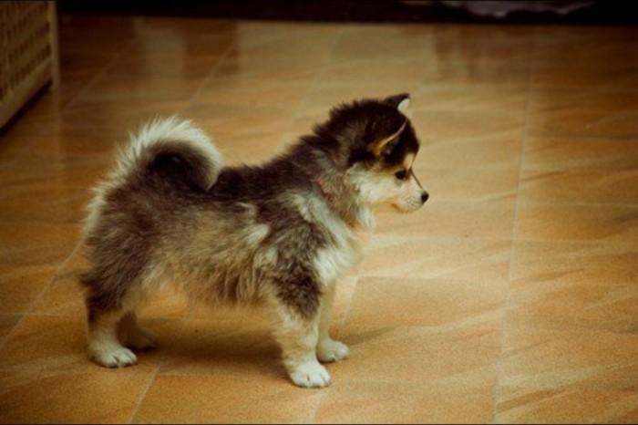 tumblr_lu9xhhD6Eh1qj1hdjo1_1280 Do You Like to Get a Pomsky Puppy?