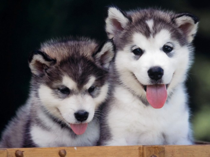 """two_husky_puppies What Do You Know about the Latest Hybrid Dog """"Pomsky""""?"""