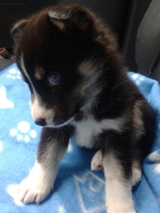 uk-pomsky-puppy Do You Like to Get a Pomsky Puppy?