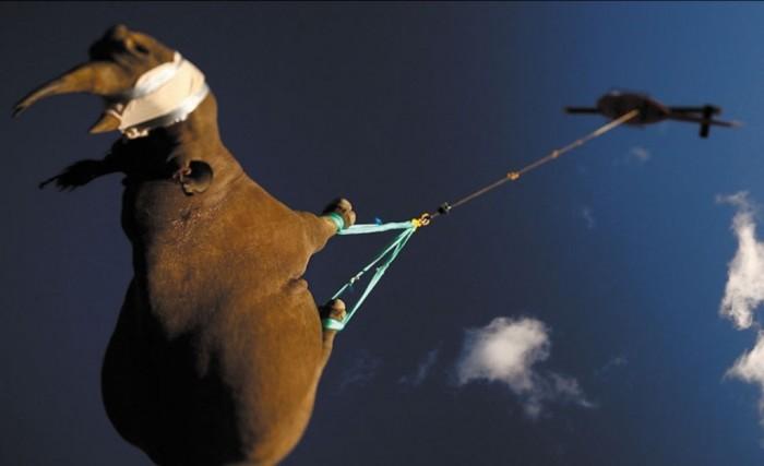 07-rhino The Western Black Rhinoceros Declared Extinct Because of Heavy Poaching