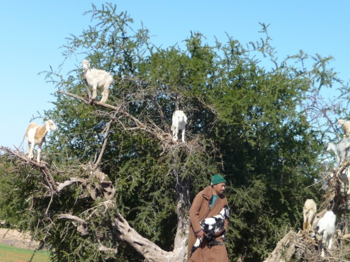 080 Extraordinary and Weird Goats that Can Fly & Stand on the Branches