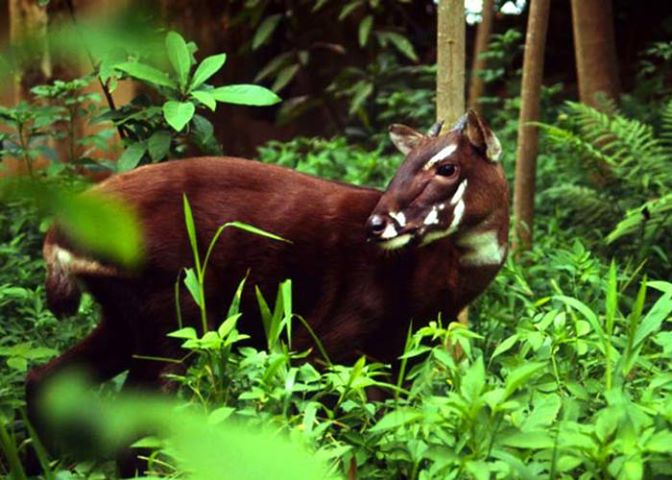 1233532_663369680354648_2072213697_n A New Photo of Saola Renews Our Hope for Its Recovery
