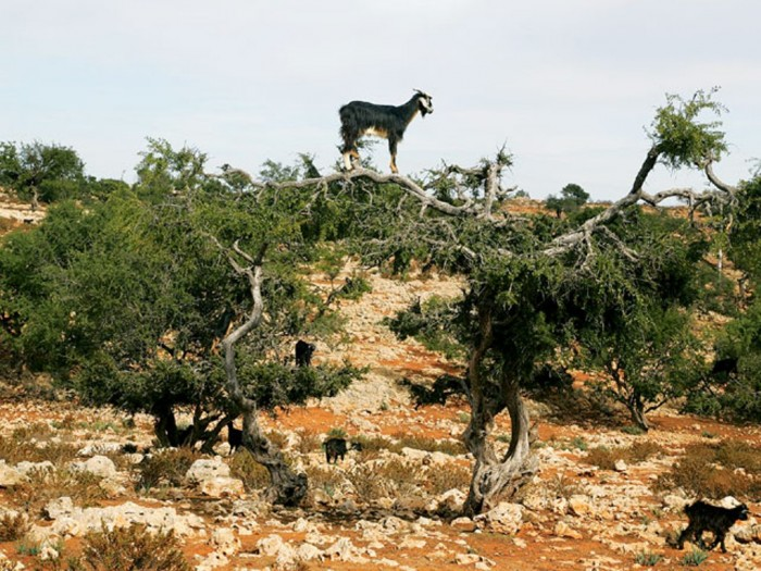 129_0710_09_z+2008_land_rover_lr2_morocco+tree_climbing_goats Extraordinary and Weird Goats that Can Fly & Stand on the Branches