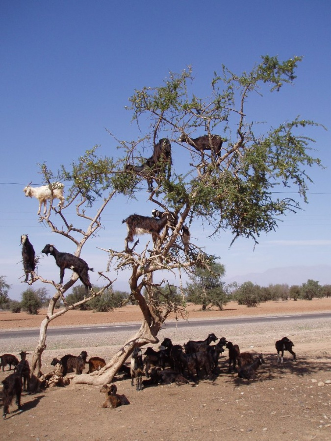 1325015 Extraordinary and Weird Goats that Can Fly & Stand on the Branches