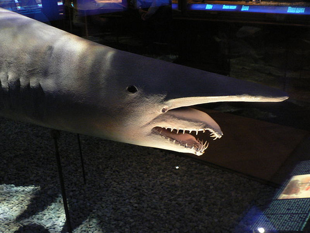 1566368201_4f54bf21fe_z Have You Ever Seen Such a Scary & Goblin Shark with Two Faces?