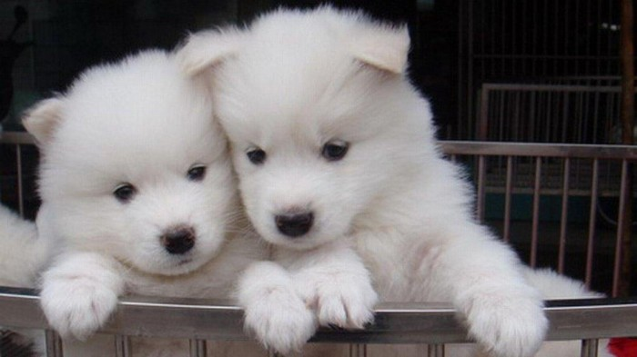1920x1080_two_cute_samoyed-408772 Samoyed Is a Fluffy, Gorgeous and Perfect Companion Dog