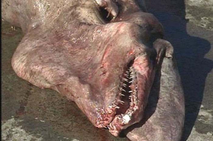 2018718-3x2-940x627 Have You Ever Seen Such a Scary & Goblin Shark with Two Faces?