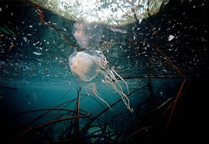 296289_38b00988a9492bcb2149a2c2e4a045f5_large Be Careful! Deadly Jellyfish That Can Kill You While Swimming