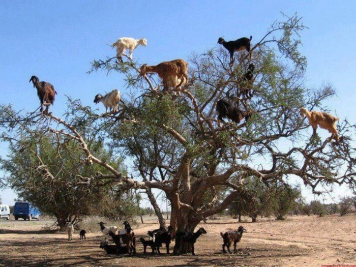 374022_389981457739063_1089032136_n Extraordinary and Weird Goats that Can Fly & Stand on the Branches