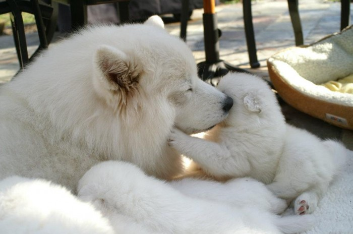405218_2767270455330_1694398200_n Samoyed Is a Fluffy, Gorgeous and Perfect Companion Dog