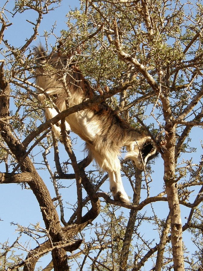 4844163659_3f40abf3b8_z Extraordinary and Weird Goats that Can Fly & Stand on the Branches