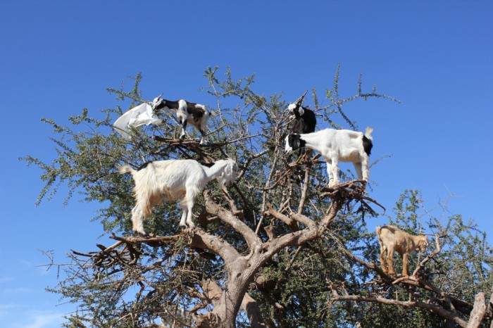 6385830859_76e8226cfc_o Extraordinary and Weird Goats that Can Fly & Stand on the Branches