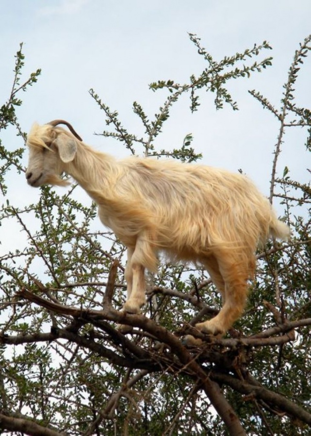 6a00d83452652569e2014e89c92fcf970d-500wi Extraordinary and Weird Goats that Can Fly & Stand on the Branches