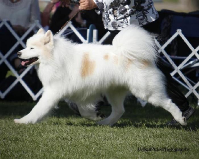 719_Bijou_sidegait_utah_2011_3 Samoyed Is a Fluffy, Gorgeous and Perfect Companion Dog
