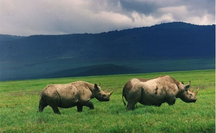 800px-Black_rhinos_in_crater The Western Black Rhinoceros Declared Extinct Because of Heavy Poaching