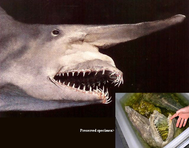 82372129_goblinshark Have You Ever Seen Such a Scary & Goblin Shark with Two Faces?