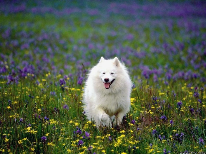 874107535 Samoyed Is a Fluffy, Gorgeous and Perfect Companion Dog