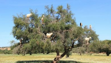 Photo of Extraordinary and Weird Goats that Can Fly & Stand on the Branches