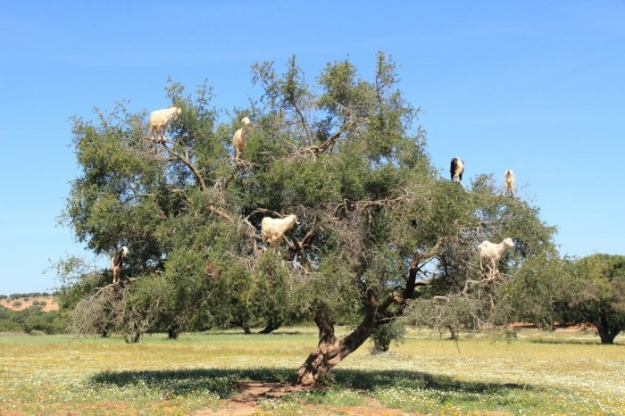89074437 Extraordinary and Weird Goats that Can Fly & Stand on the Branches
