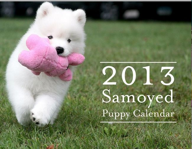 8_2013-Samoyed-Calendar-Cover1 Samoyed Is a Fluffy, Gorgeous and Perfect Companion Dog