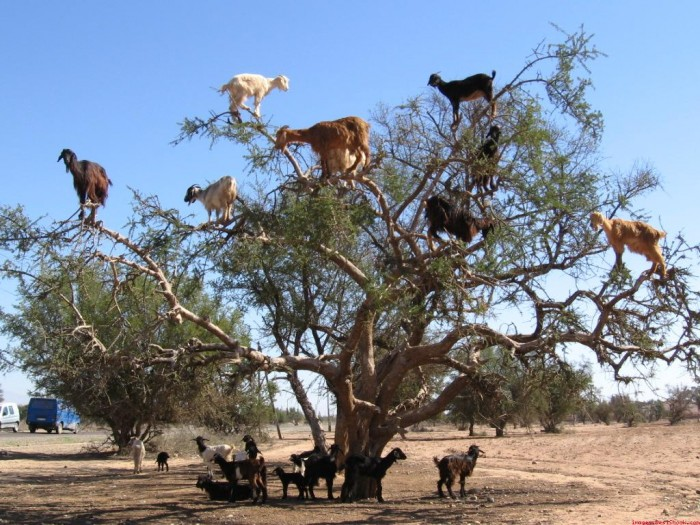 9be68c9a Extraordinary and Weird Goats that Can Fly & Stand on the Branches