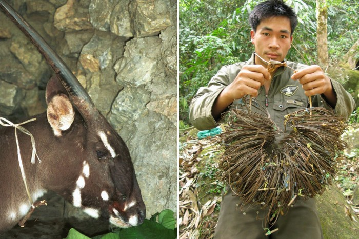 A-female-saola-at-Lak-Xao-in-the-Lao-province-of-Bolikhamxay-2787392 A New Photo of Saola Renews Our Hope for Its Recovery