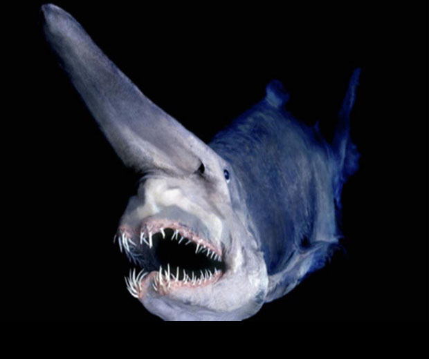 A8 Have You Ever Seen Such a Scary & Goblin Shark with Two Faces?