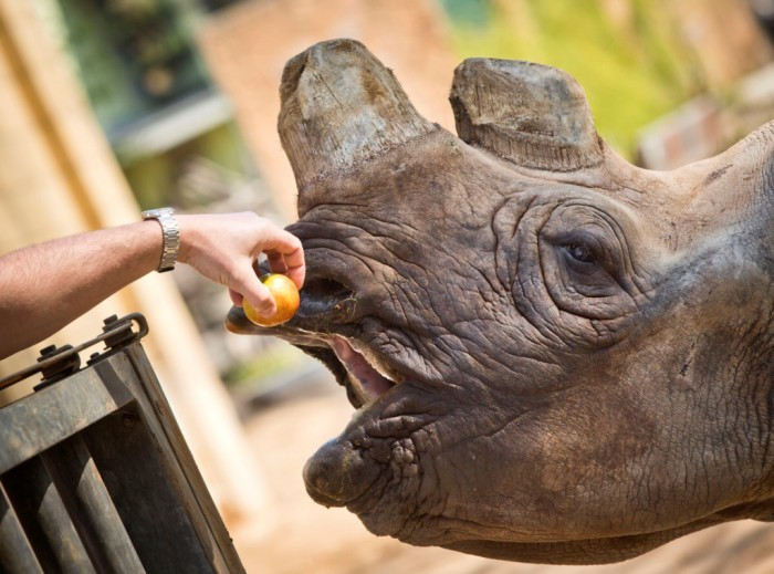 AFPGetty-519012356 The Western Black Rhinoceros Declared Extinct Because of Heavy Poaching