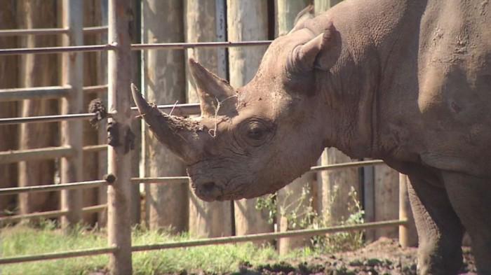 Abilene-black-rhino-jpg The Western Black Rhinoceros Declared Extinct Because of Heavy Poaching
