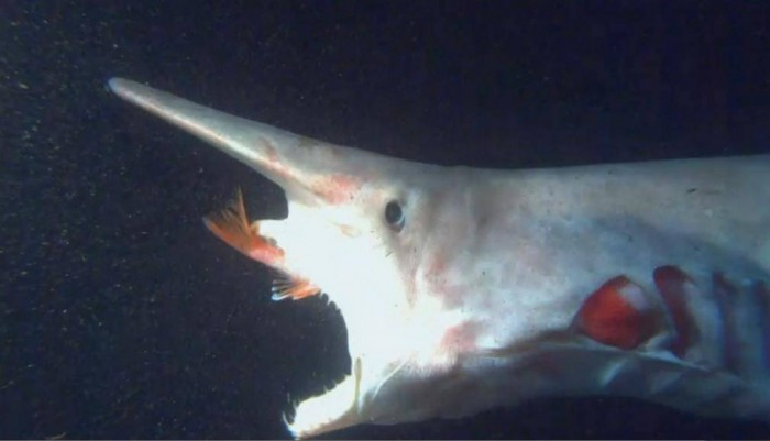 Alien-goblin-Shark-1 Have You Ever Seen Such a Scary & Goblin Shark with Two Faces?