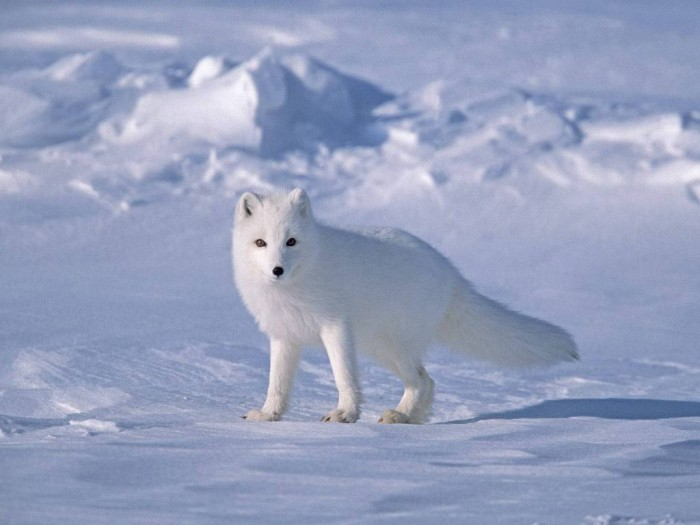 Arctic-Fox-on-Sea-Ice-North-Slope-Near-Arctic-Ocean-Alaska Adventure Travel Destinations to Enjoy an Unforgettable Holiday