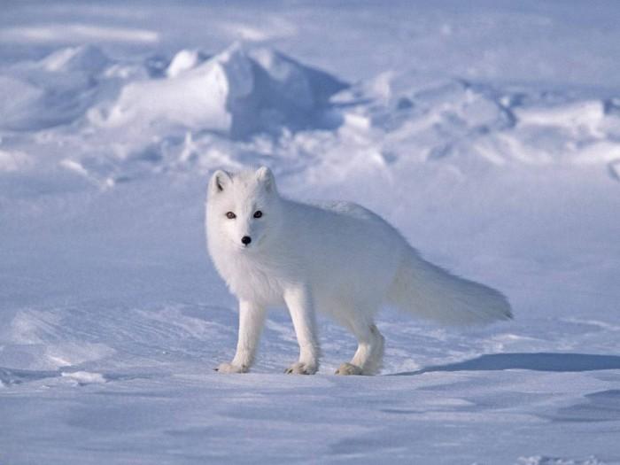 Arctic-Fox-on-Sea-Ice-North-Slope-Near-Arctic-Ocean-Alaska Adventure Travel Destinations to Enjoy an Unforgettable Holiday