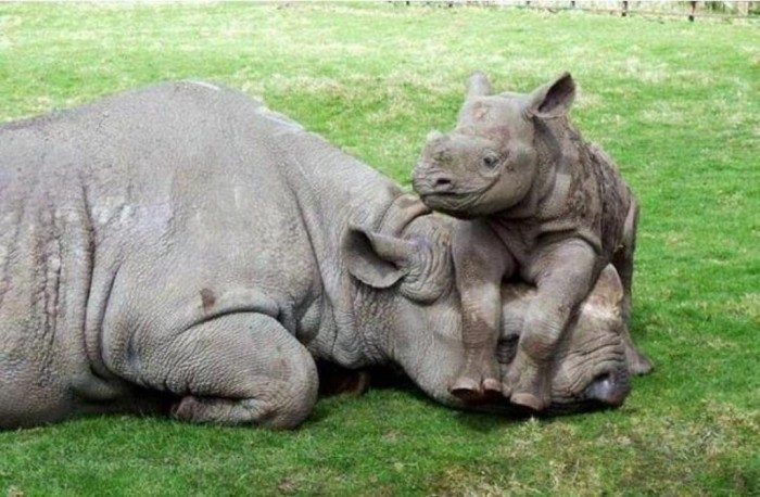 Baby_rhino The Western Black Rhinoceros Declared Extinct Because of Heavy Poaching